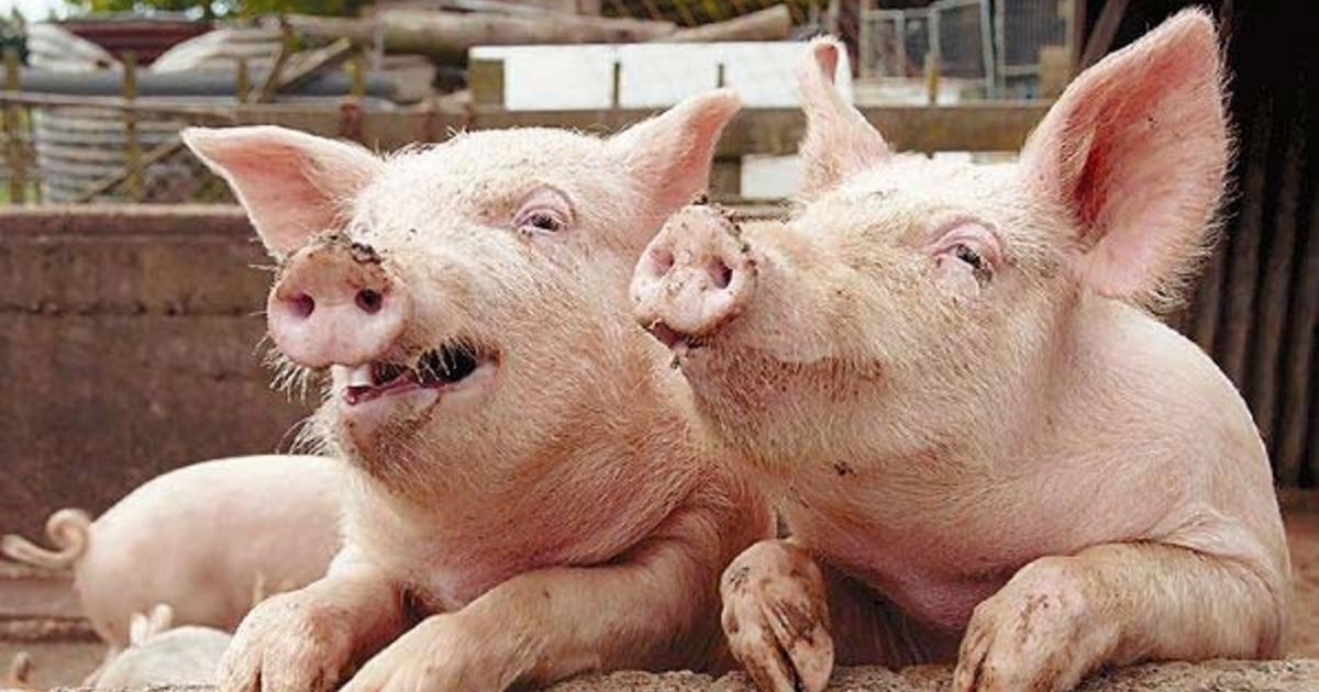 Свиньи из Мираторга